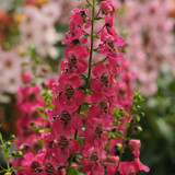 Angelonia Archangel™ Dark Rose (Summer Snapdragon)