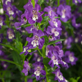 Angelonia Angelface® Super Blue (Summer Snapdragon)