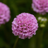 Armeria Dreameria® Sweet Dreams