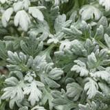 Artemisia Silver Bullet® (Wormwood)