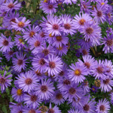 Aster Wood's Purple