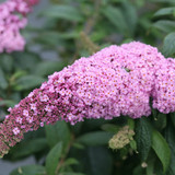 Buddleia Pugster Pink®