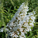 Buddleia Silver Frost