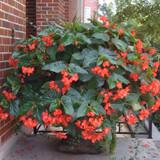 Begonia Dragon Wing® Red