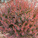 Berberis Royal Burgundy®