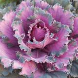 Brassica Osaka Red (Ornamental Cabbage)