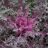 Brassica Peacock Red (Ornamental Kale)