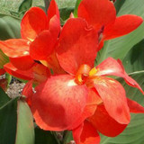 Canna South Pacific Scarlet