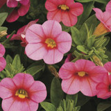 Calibrachoa Callie® Coral Pink