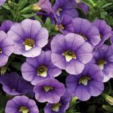 Calibrachoa Callie® Light Blue