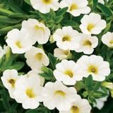 Calibrachoa Superbells® White