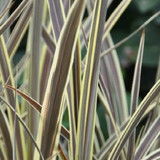 Cordyline Electric Flash (False Dracaena)