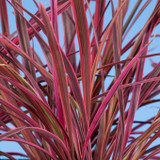Cordyline Electric Pink (False Dracaena)