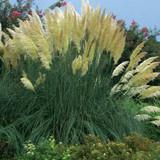 Cortaderia selloana (Pampas Grass)