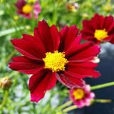 Coreopsis Big Bang™ Mercury Rising