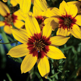 Coreopsis Sizzle & Spice™ Curry Up
