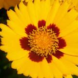Coreopsis Sunfire