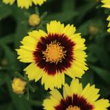 Coreopsis UpTick™ Yellow & Red
