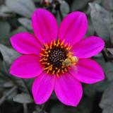 Dahlia Happy Days® Purple
