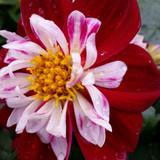 Dahlia Starsister® Red & White