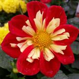 Dahlia Starsister® Scarlet & Yellow
