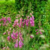Digitalis Camelot Rose (Foxglove)