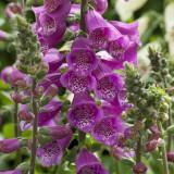 Digitalis Dalmatian Purple (Foxglove)