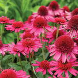 Echinacea Delicious Candy (Coneflower)