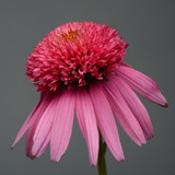 Echinacea Double Scoop™ Bubble Gum (Coneflower)