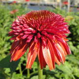 Echinacea Double Scoop™ Orangeberry (Coneflower)
