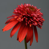 Echinacea Double Scoop™ Raspberry (Coneflower)