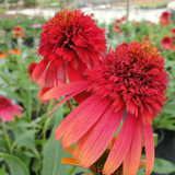 Echinacea Cone-fections™ Hot Papaya (Coneflower)