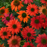 Echinacea Lakota™ Fire (Coneflower)