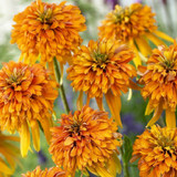 Echinacea Cone-fections™ Marmalade (Coneflower)