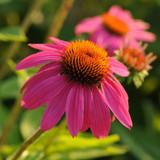 Echinacea PowWow® Wild Berry (Coneflower)