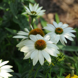 Echinacea PowWow® White (Coneflower)