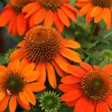 Echinacea Sombrero® Adobe Orange (Coneflower)