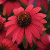 Echinacea Sombrero® Baja Burgundy (Coneflower)