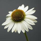 Echinacea Sombrero® Blanco (Coneflower)