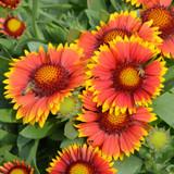 Gaillardia Arizona Sun (Blanket Flower)