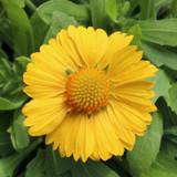 Gaillardia Sunrita® Golden Yellow (Blanket Flower)
