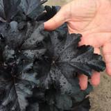 Heuchera Primo® Black Pearl