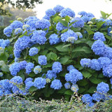Hydrangea mac. Endless Summer® The Original