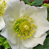 Helleborus Gold Collection® Josef Lemper