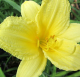 Hemerocallis Fragrant Returns (Daylily)