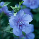 Hibiscus Blue Chiffon®