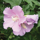 Hibiscus Pollypetite®