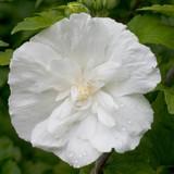 Hibiscus White Chiffon®