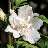 Hibiscus White Pillar®