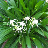 Hymenocallis Tropical Giant (Spider Lily)